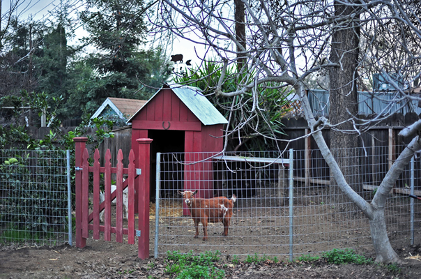 goat run in shed
